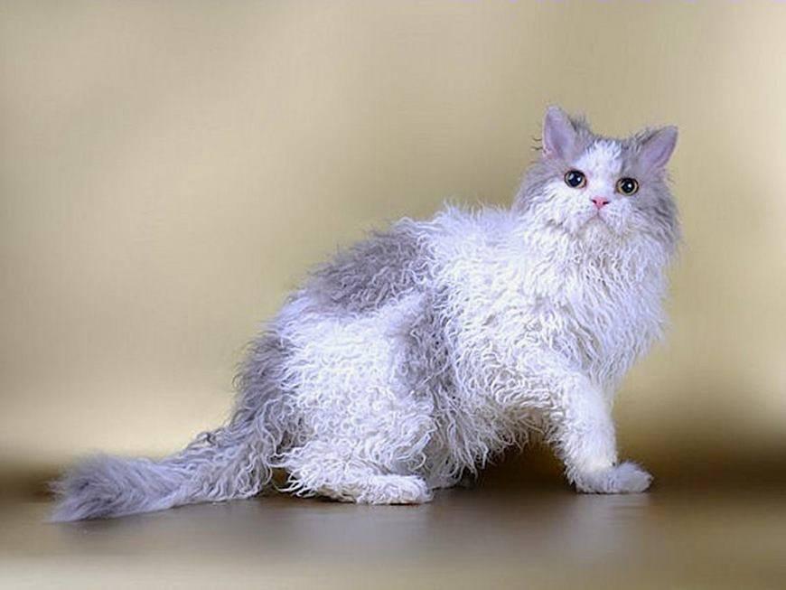 Породы длинношерстных и полудлинношерстных кошек с фотографиями и названиями