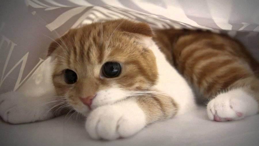 Правила ухода и кормления шотландской вислоухой кошки