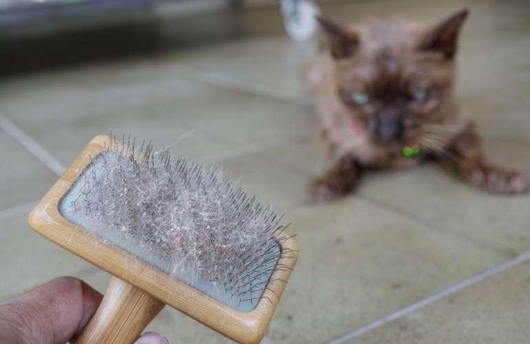 Перхоть у кошки: причины патологии, лечение в домашних условиях