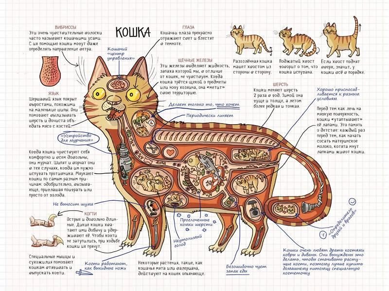 Анатомия внутренних органов собаки: описание, определение, структура, вид, выполняемые функции, значение и строение