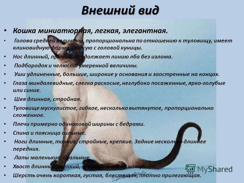 Анатолийская кошка короткошерстная, описание породы с фото: экстерьер и характер