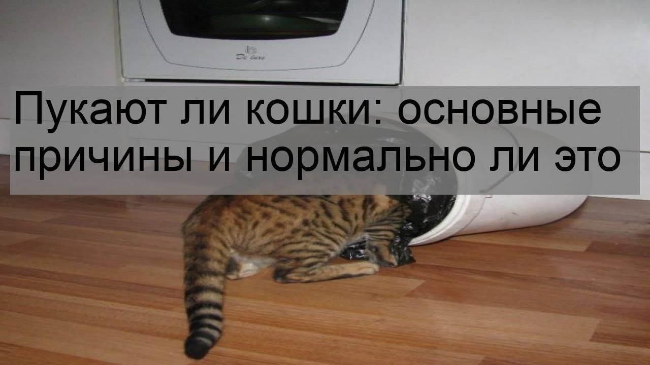 Почему котенок часто пускает газы с запахом — коты умеют пукать