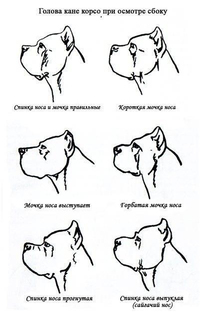 Вес кане-корсо: какие размеры должен иметь щенок и параметры взрослой собаки