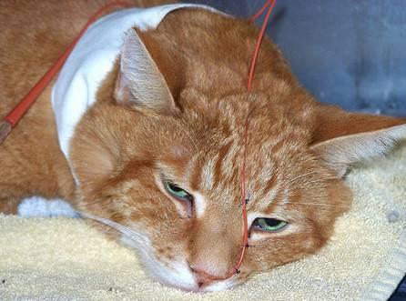 Отек легких у кота: симптомы и лечение