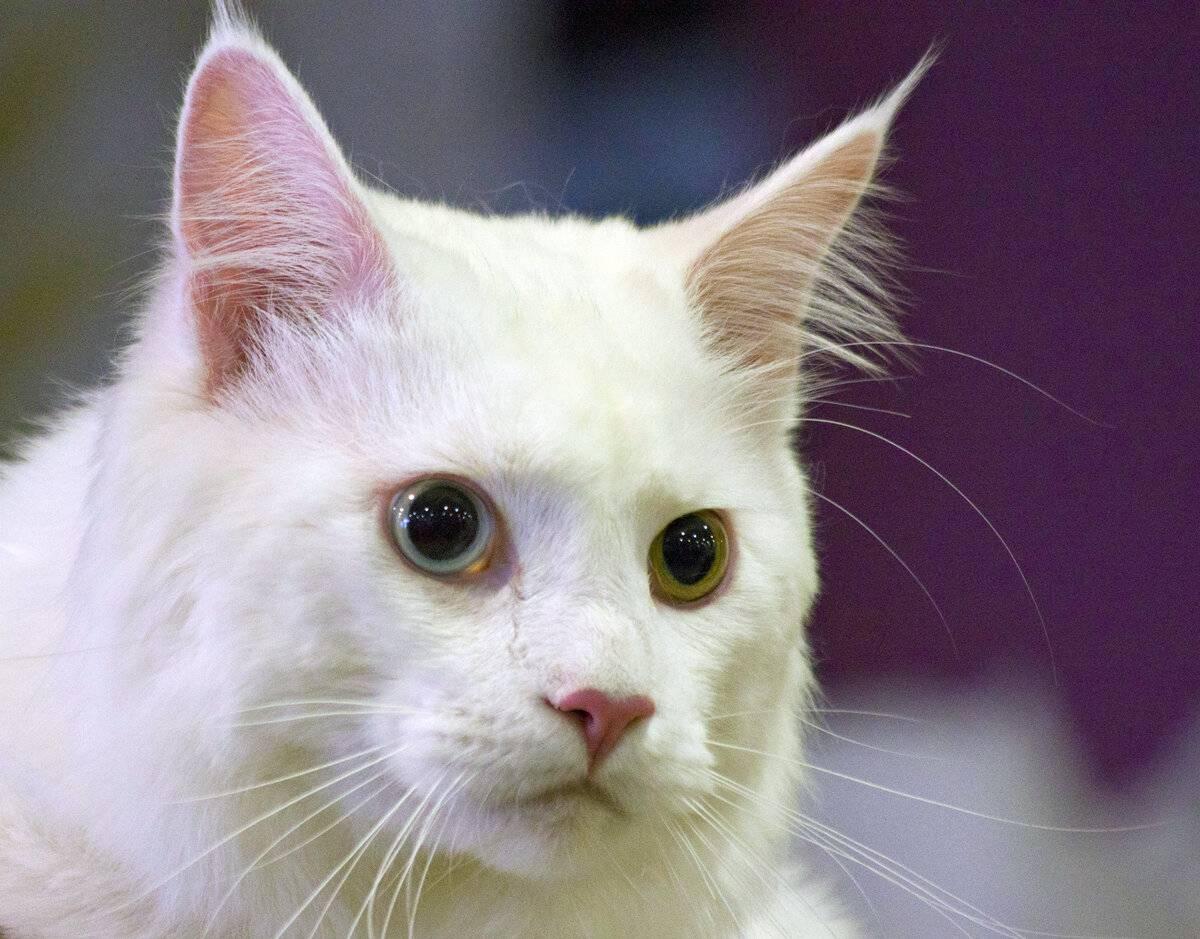 Сонник белый кот с разными глазами. к чему снится белый кот с разными глазами видеть во сне - сонник дома солнца