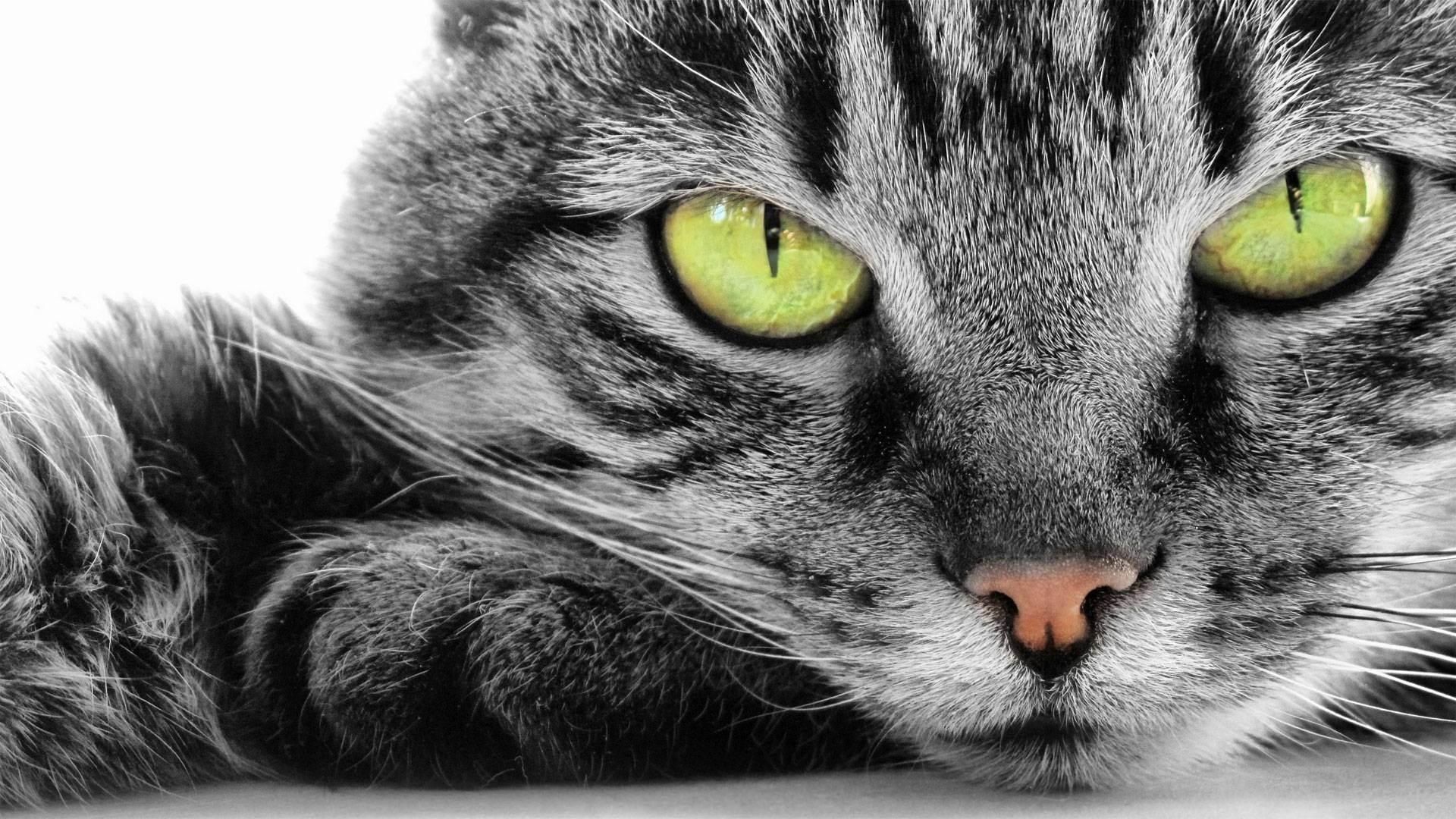 Как уживаются две британские кошки в доме