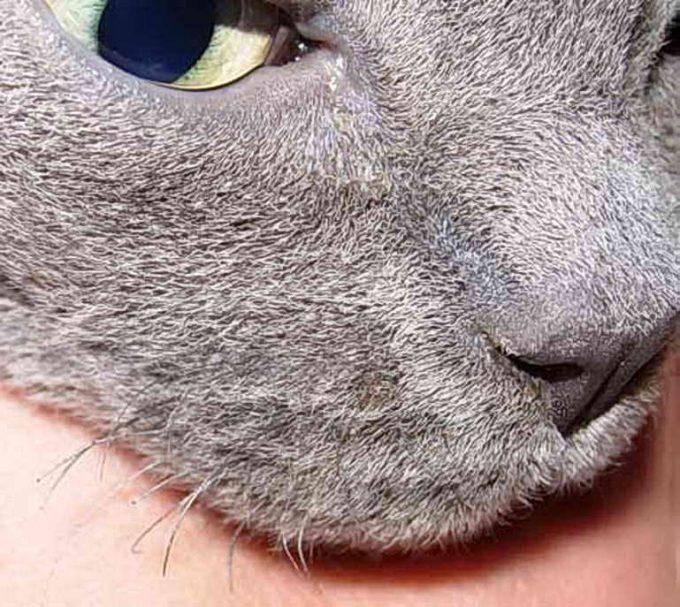У кошки выпадают усы: почему и что делать?