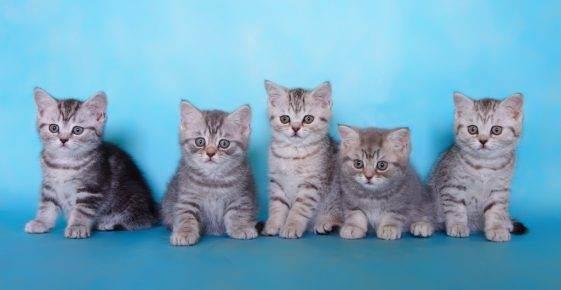 Estate melli » как правильно выбрать британского котёнка?