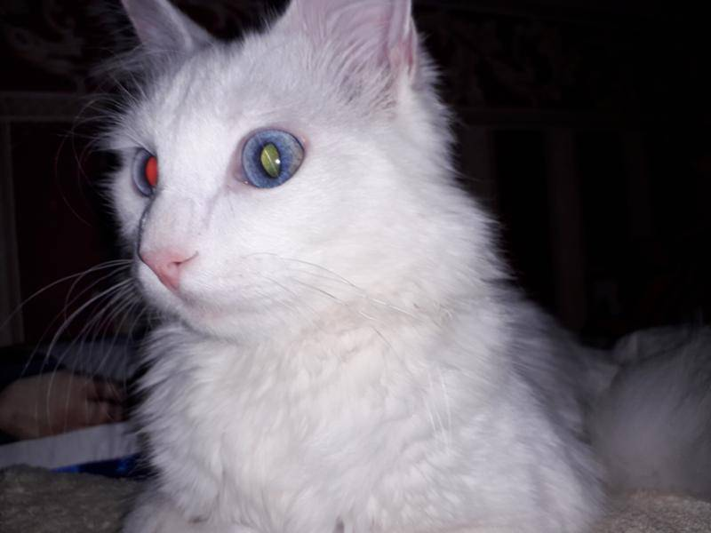 Разные зрачки у кота