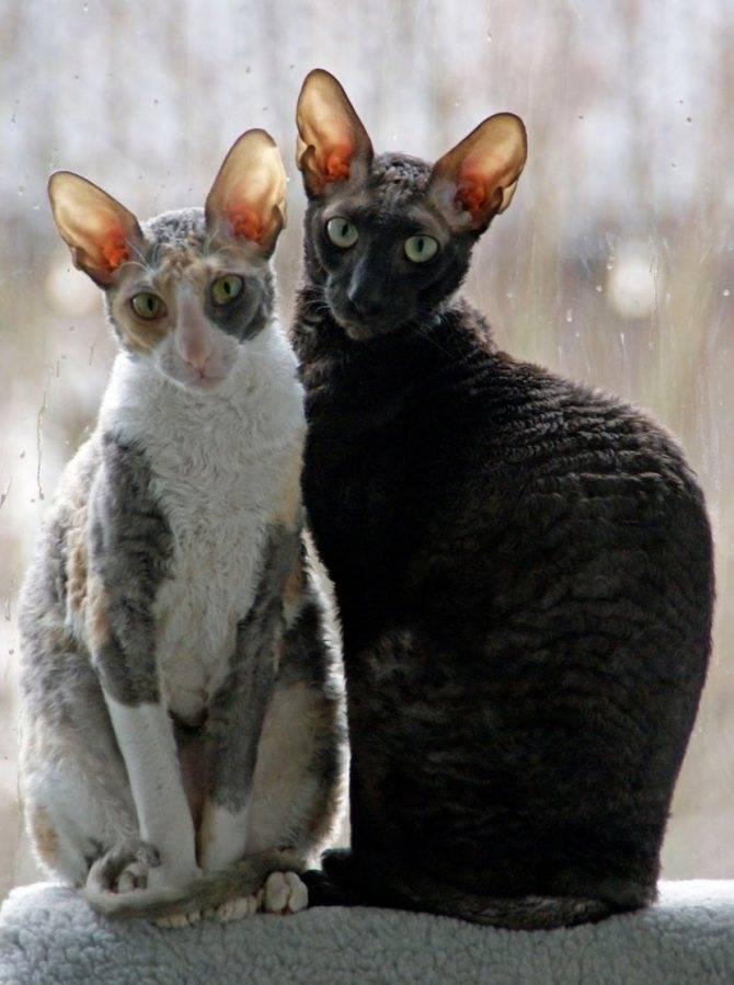 Селкирк рекс — порода кошек с шерстью и характером ягнёнка