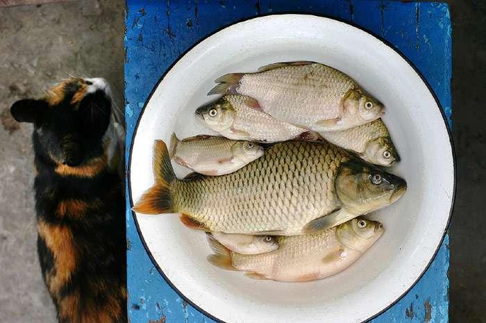 Потребность кошек в энергии и питательных веществах. правильное кормление кошек.