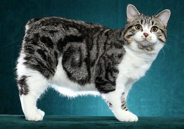 Мэнкс – короткохвостая кошка с прекрасным характером