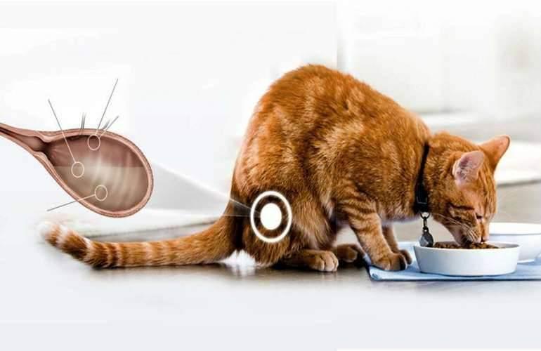 Идиопатический цистит у котов: лечение цистита у кошек