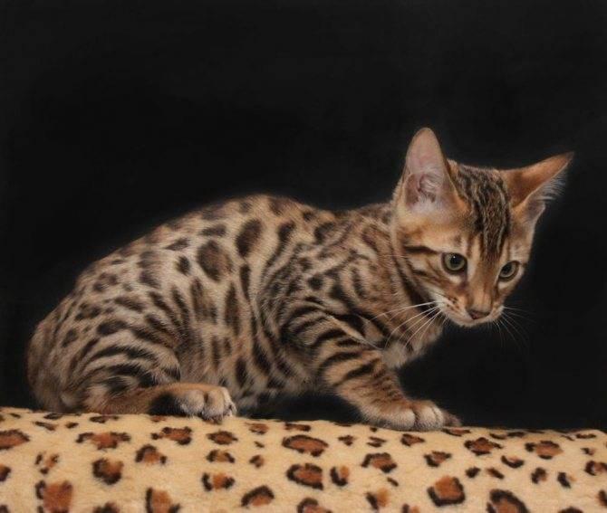 Бенгальская кошка: фото, описание породы, характер и особенности ухода