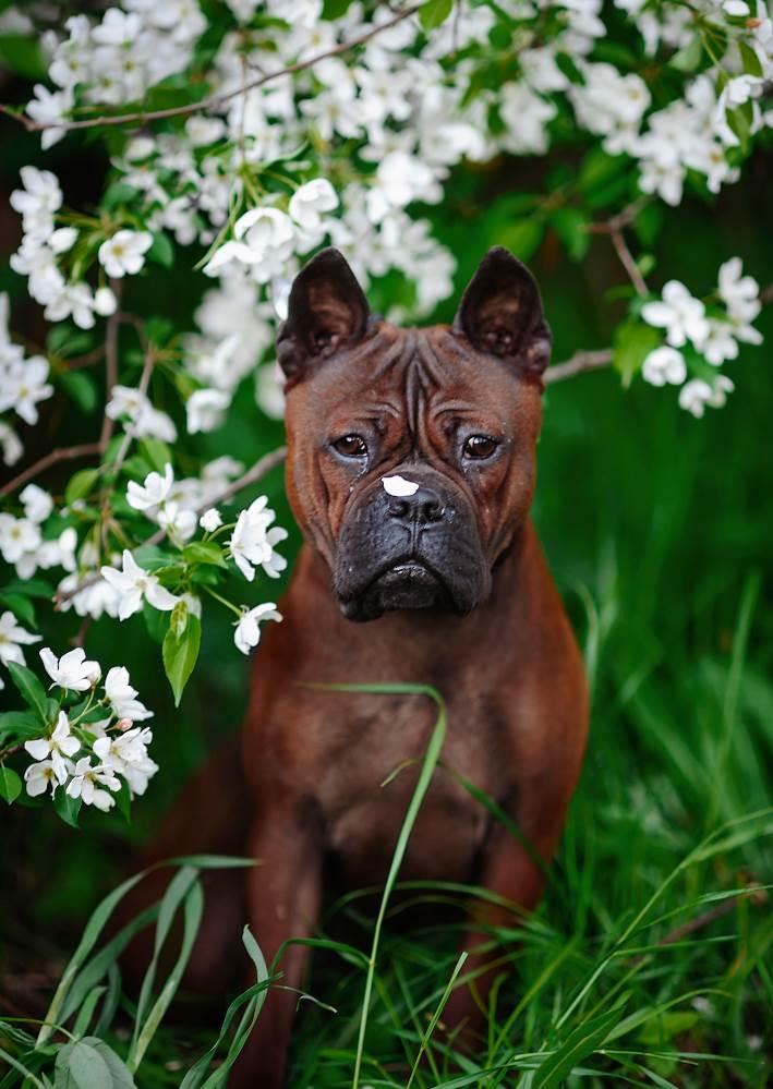 Чунцин (китайский бульдог): описание породы собак с фото и видео