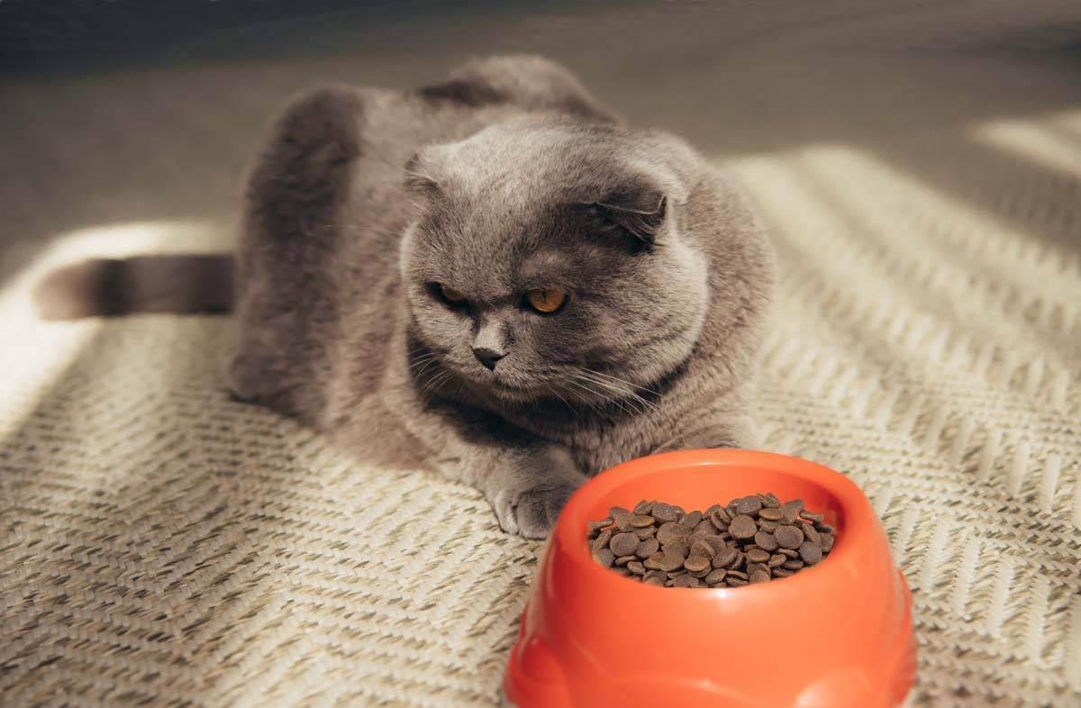 Кот не ест сухой корм: что делать в этой ситуации