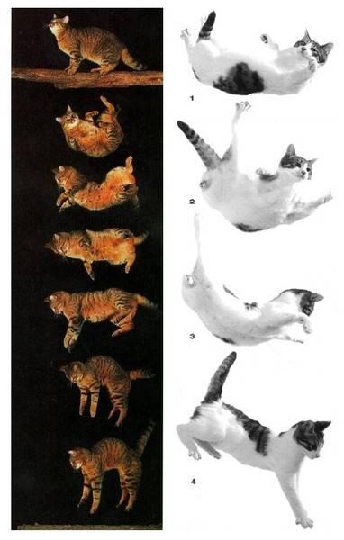 Почему у кошки отказывают задние лапы?
