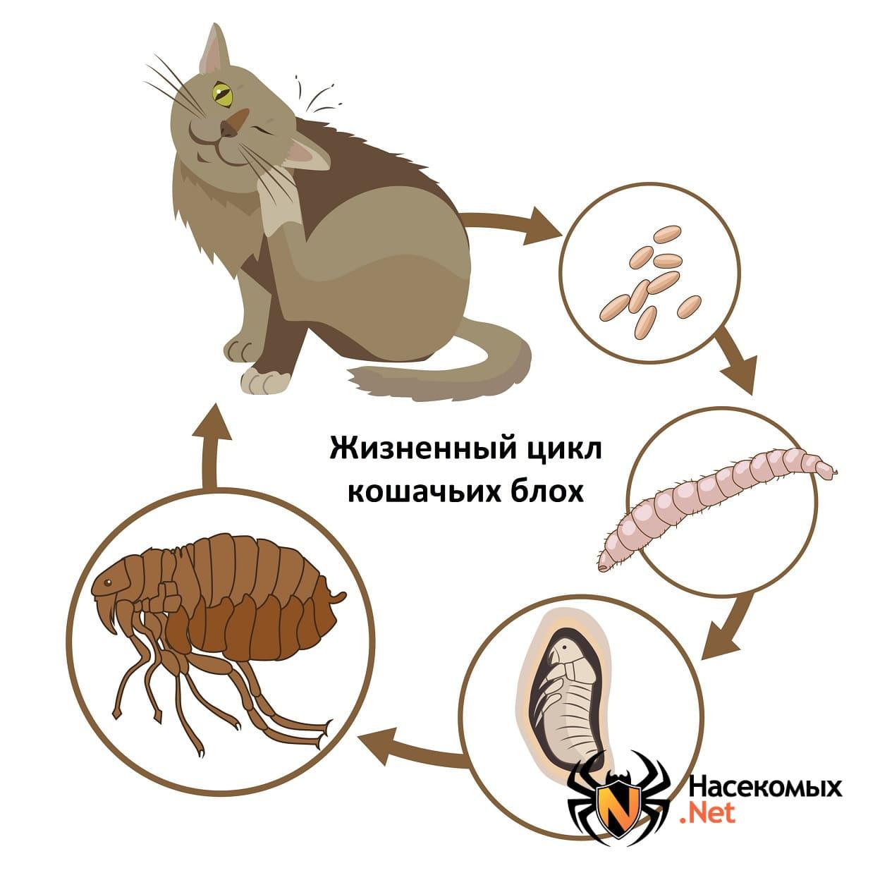 Кошачьи блохи: как избавиться от паразитов без вреда дляживотного