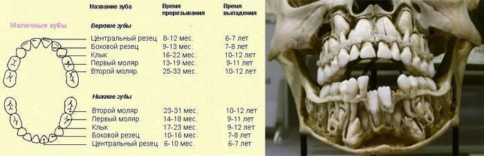 Смена зубов у котят: как происходит и когда, особенности ухода смена зубов у котят: как происходит и когда, особенности ухода