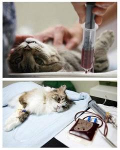 Анемия у кошек: причины, признаки, лечение
