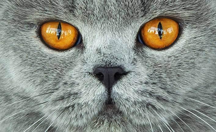 Характер британских кошек