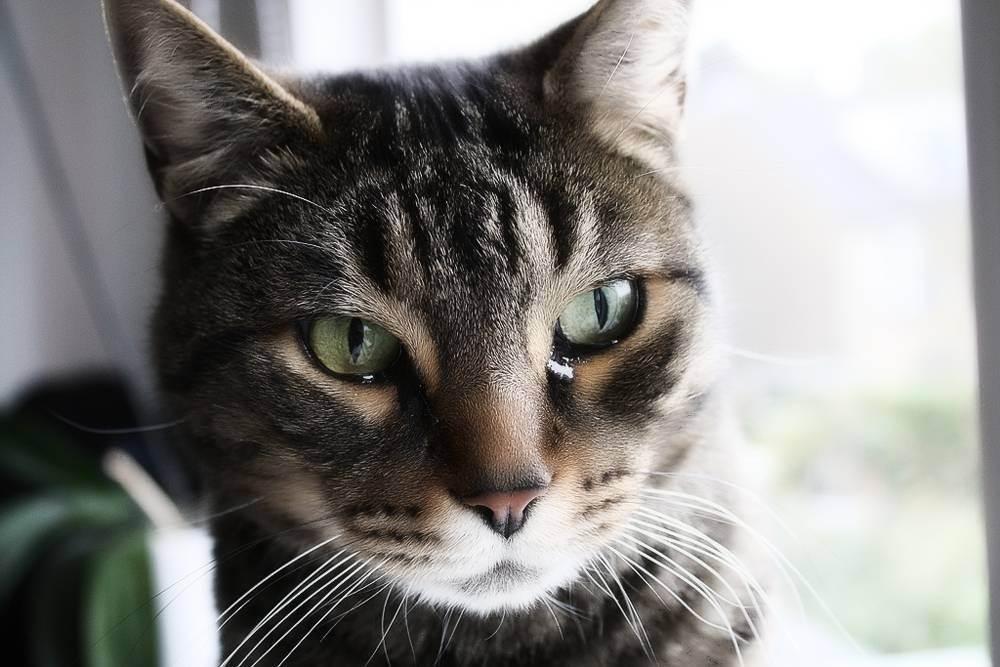Почему у кошки слезятся глаза, закисают и гноятся: причины и лечение, как протирать