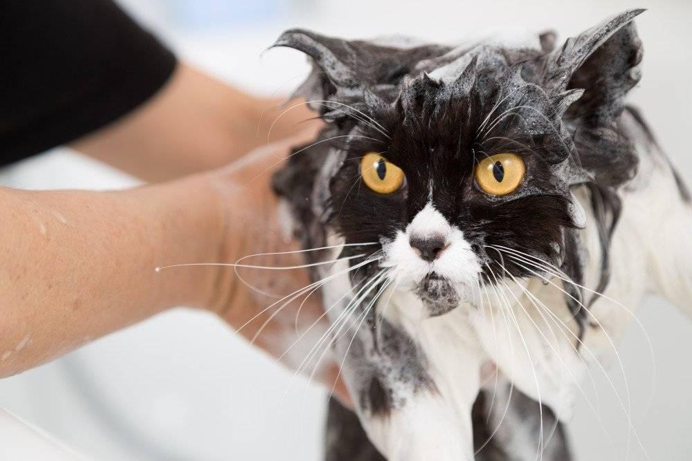 Моем кота: как часто купать, каким шампунем и с какого возраста?