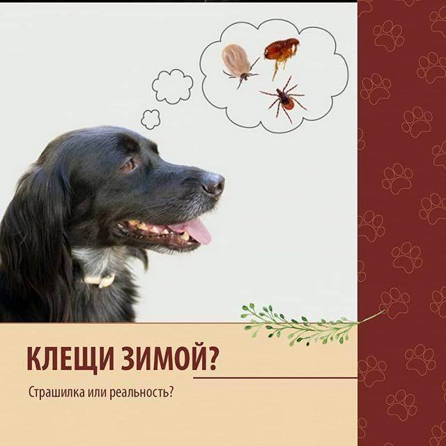 Клещи у собак. обработка собак от клещей, блох. защита от укусов клещей у собак. как вытащить клеща.