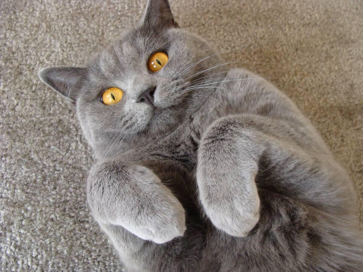 Характер шотландских вислоухих кошек (скоттиш фолд)