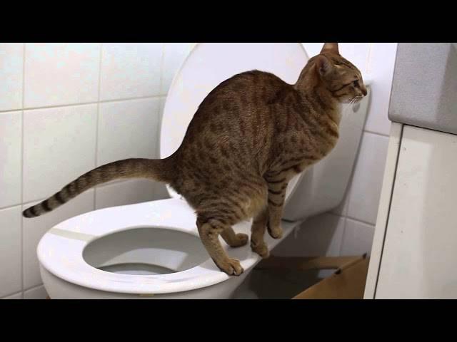 Кот или кошка не может сходить в туалет: что делать?