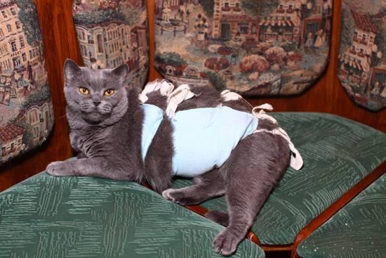 В каком возрасте кастрируют котов британцев? - oozoo.ru