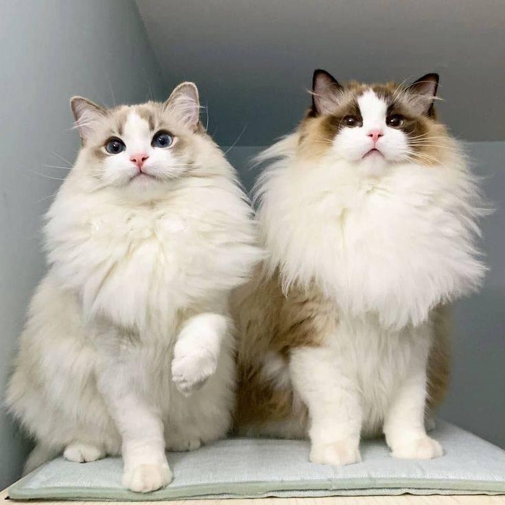 Рэгдолл - порода кошек - информация и особенностях   хиллс
