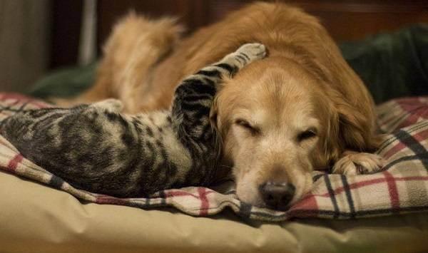 Породы собак, которые на враждуют с кошками: рассматриваем вопрос