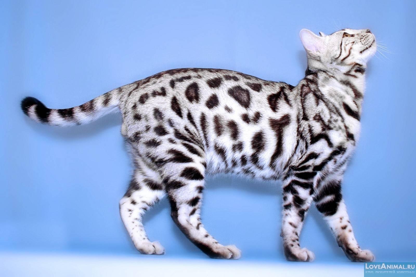 Окрасы бенгальских котят и фазинг