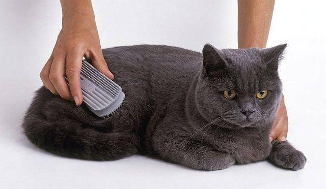 Шотландская кошка сильно линяет: причины и профилактика