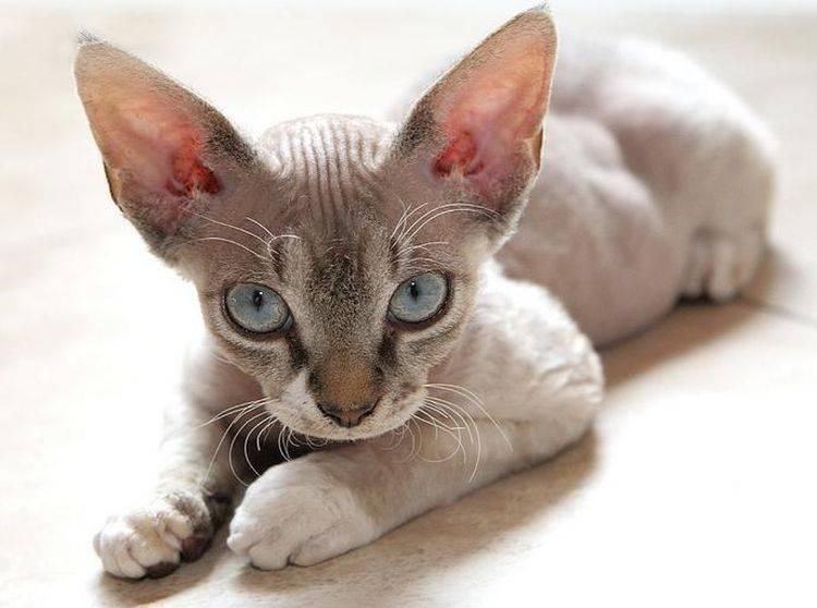 Девон-рекс: фото кошки, цена, характер и описание породы, отзывы владельцев, как выбрать котёнка в питомнике, уход за питомцем
