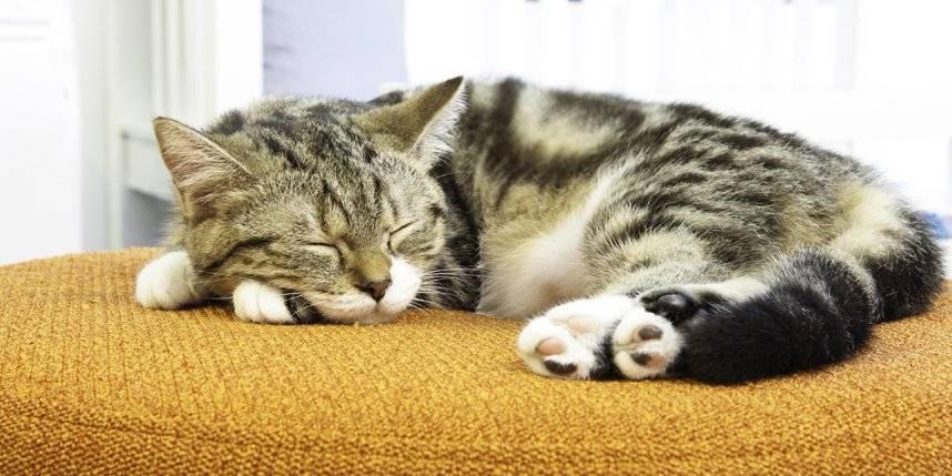 Почему кот храпит во сне и дёргает лапками