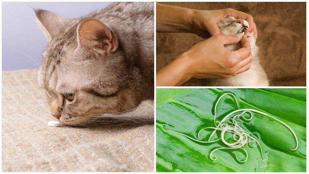 Как вывести у кошки глистов