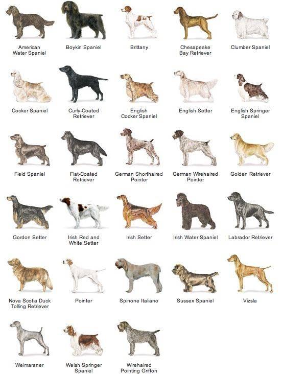 Средние породы собак - названия и фото (каталог)