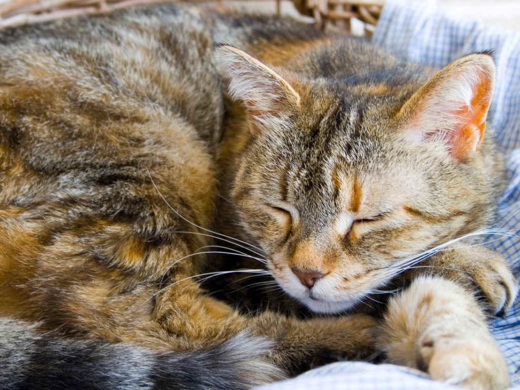 Простуда у кошек: симптомы, лечение и пути заражения