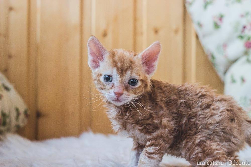Описание кошки породы уральский рекс: происхождение, питание и условия содержания