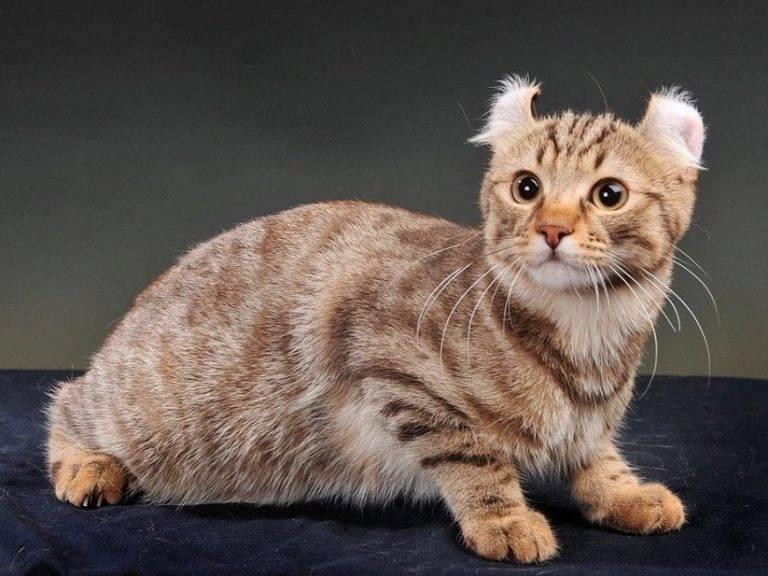 Кошка американский керл – описание, характеристика, уход и стоимость