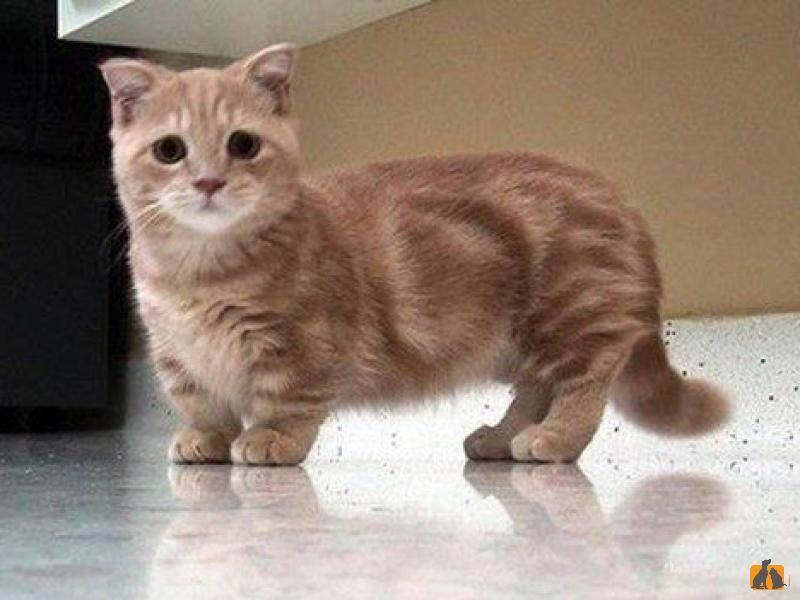 Манчкин — порода кошек с короткими лапами: фото, цена, описание стандарта и характера