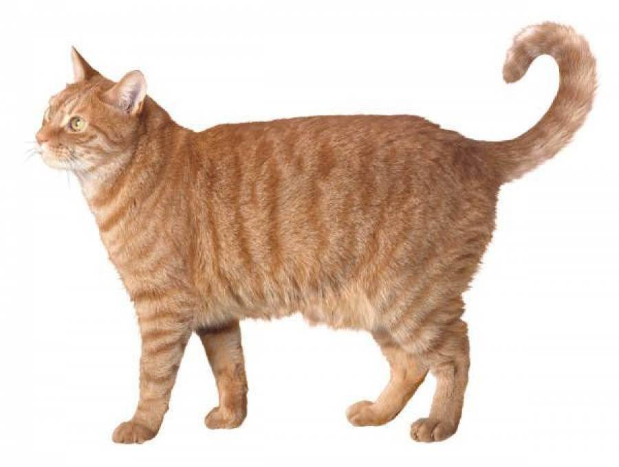 С чем связано облысение хвоста у кошки?