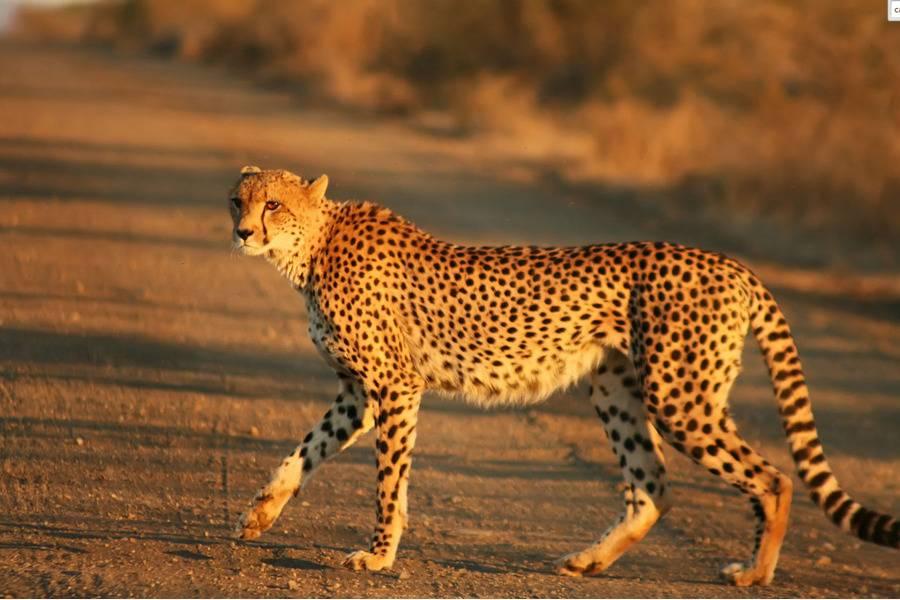 Самая быстрая кошка в мире в дикой природе: какое животное из семейства кошачьих стремительнее всех?