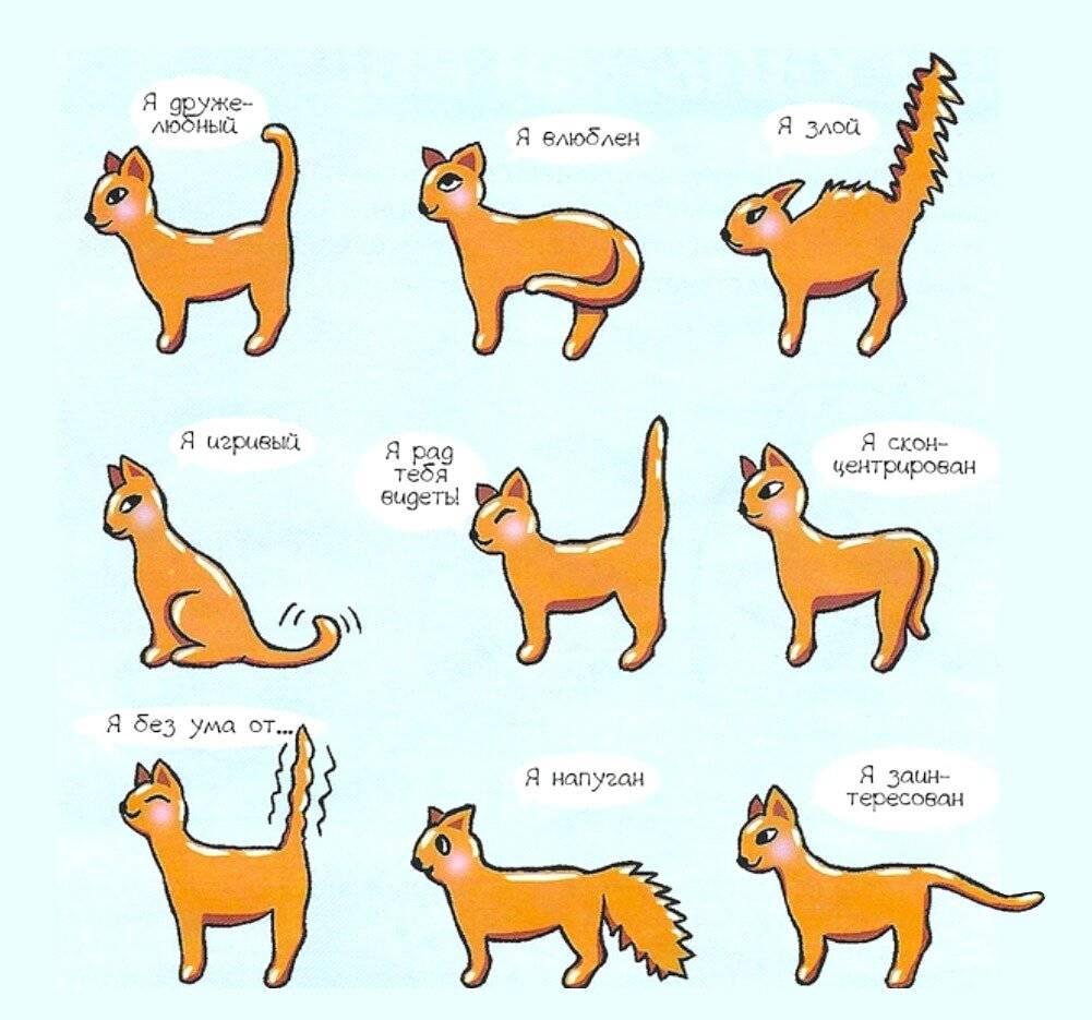 Кошка ходит с опущенным хвостом: 6 причин, которые требуют внимания