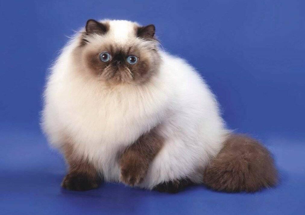Длинная шерсть и голубые глаза, или как ухаживать за гималайской кошкой в домашних условиях