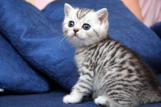 Как ухаживать за британским котом? содержание и воспитание котят британской породы в квартире, уход за шерстью и ушами