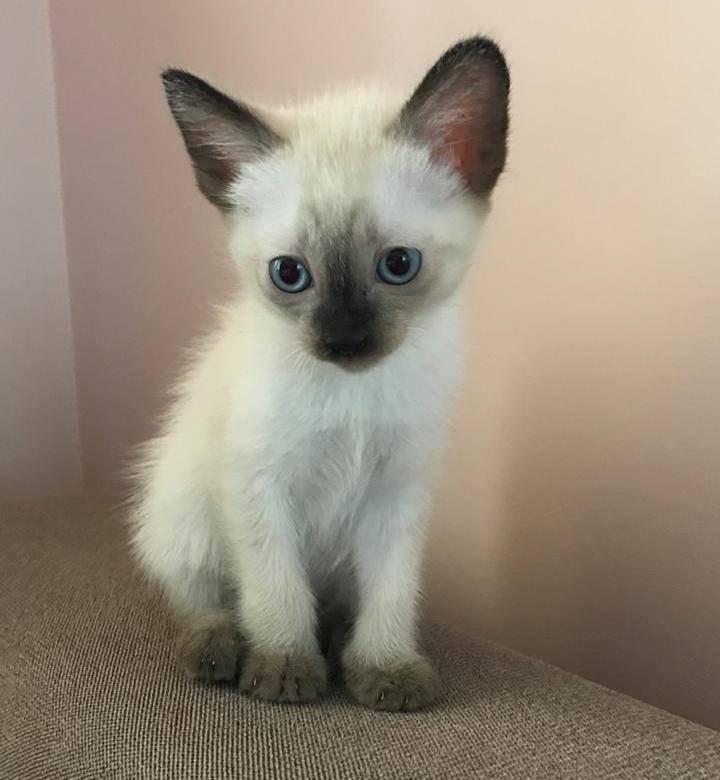 Сколько стоит сиамская кошка в россии в рублях?