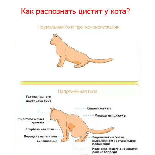 Цистит у кота - симптомы, диагностика, лечение, профилактика в домашних условиях